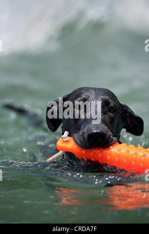 black labrador retriever swimming with orange chew toy - Stock Photo