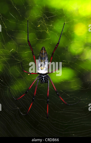 Golden-orb web spider (Nephila madagascariensis), dry forests of Ankarafantsika, Madagascar, Africa, Indian Ocean - Stock Photo