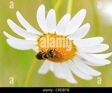 Bee on a daisy, Bewdley, Worcestershire, England, Europe - Stock Photo