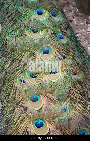 Male Peacock Tail Feathers - Stock Photo