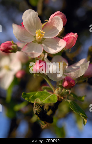 apple tree (Malus domestica), twig with pink blossoms, Germany, Bavaria, Spessart - Stock Photo