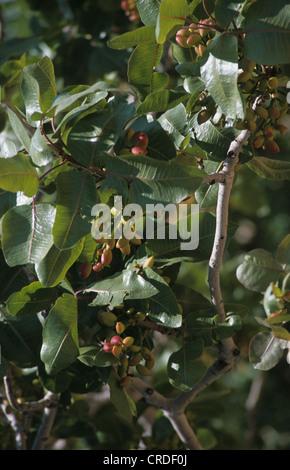 how to grow pistachio tree