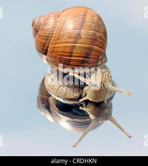 Roman snail, escargot, escargot snail, edible snail, apple snail, grapevine snail, vineyard snail, vine snail (Helix pomatia), creeping on a mirror
