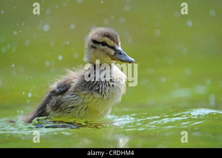 mallard (Anas platyrhynchos), duckling - Stock Photo