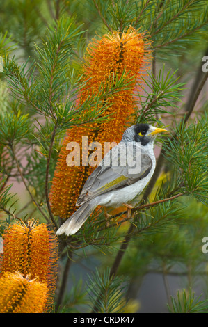 Noisy Miner (Manorina melanocephala), New South Wales, NSW, Australia - Stock Photo
