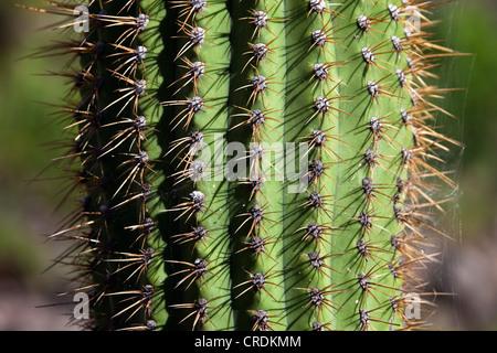Cactus, close-up, Sierras de Chavez, San Juan, Argentina, South America - Stock Photo