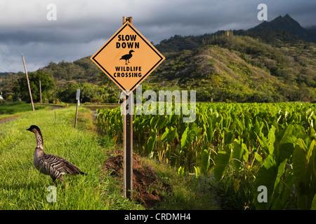 Nene or Hawaiian Goose (Branta sandvicensis), on the edge of a Taro field, next to sign warning of wild animals - Stock Photo