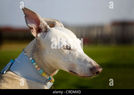 Spanish Greyhound, Galgo Espanol, looking into the distance, portrait - Stock Photo