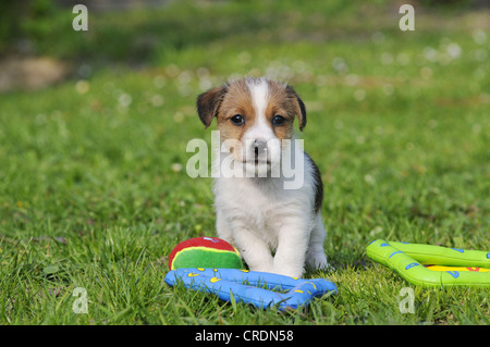Jack Russell Terrier puppy beside toys on the lawn - Stock Photo