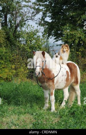 American Shetland Pony with a Shetland Sheepdog, or Sheltie, and a Birman Cat on its back - Stock Photo