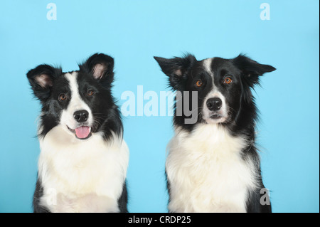 Two Border Collies, portrait, in front of turquoise - Stock Photo