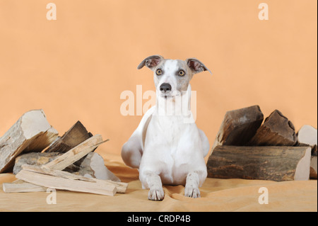 Whippet lying between logs - Stock Photo