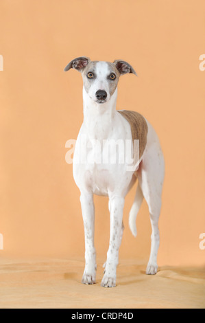 Whippet standing - Stock Photo