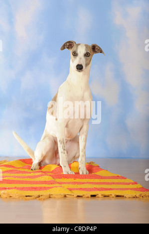 Whippet sitting on a blanket - Stock Photo