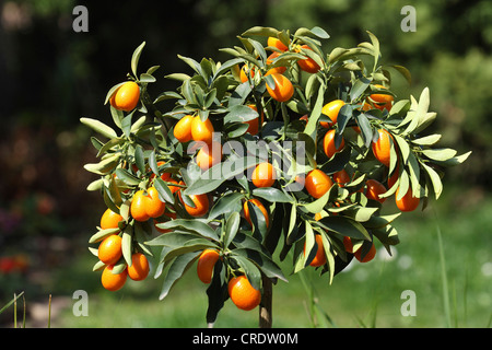 kumquat (Fortunella margarita), fruits on tree - Stock Photo