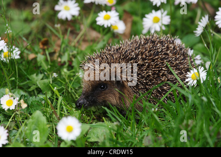 Western hedgehog, European hedgehog (Erinaceus europaeus), on meadow with daisies, Germany - Stock Photo
