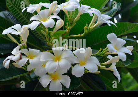 plumeria (frangipani) flowers - Stock Photo