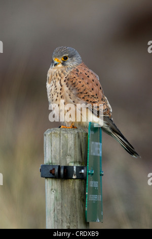 common kestrel (Falco tinnunculus), male perched on post with prohibition sign in the dunes, Netherlands, Texel - Stock Photo