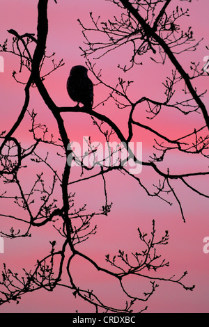little owl (Athene noctua), silhouette of a single animal perched on a branch at sunrise, Germany, North Rhine-Westphalia, - Stock Photo