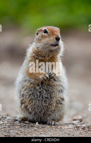 Arctic Ground Squirrel (Spermophilus parryii), on a road in Alaska, USA, PublicGround - Stock Photo