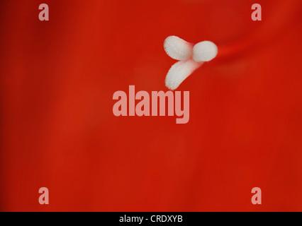 amaryllis (Hippeastrum spec.), stigma - Stock Photo