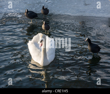 A swan,Cygnus olor, and coots swimming in  icy pond in winter - Stock Photo