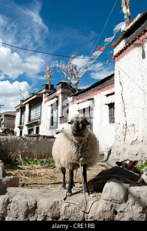 Domestic sheep (Ovis orientalis aries) standing in the historic district, houses with flat roofs, Gyantse, Himalaya - Stock Photo