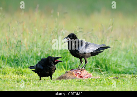 Common Ravens (Corvus corax), feeding on carcass, Feldberg, Mecklenburg-Western Pomerania, Germany, Europe - Stock Photo