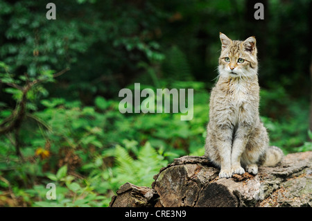 European Wildcat or Wild Cat (Felis silvestris silvestris), perched on tree trunk, Guestrow, Mecklenburg-Western - Stock Photo