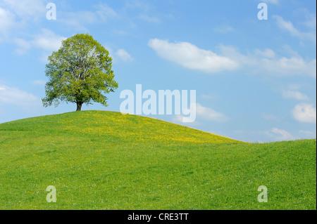 Lime Tree (Tilia), solitary tree on a moraine with flowering dandelion, Hirzel, Switzerland, Europe - Stock Photo