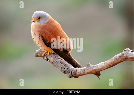 Lesser Kestrel (Falco naumanni), male, perched on branch - Stock Photo
