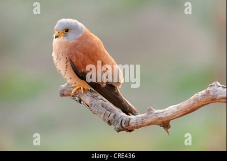 Lesser kestrel (Falco naumanni), male sitting on branch - Stock Photo