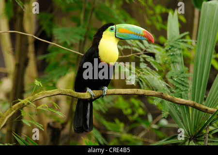 Keel-billed Toucan, Sulfur-breasted Toucan, Rainbow-billed Toucan (Ramphastos sulfuratus) - Stock Photo