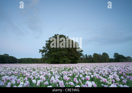 Field of pink opium poppies in Dorset, June 2012, cultivated for use in the pharmaceutical industry. - Stock Photo