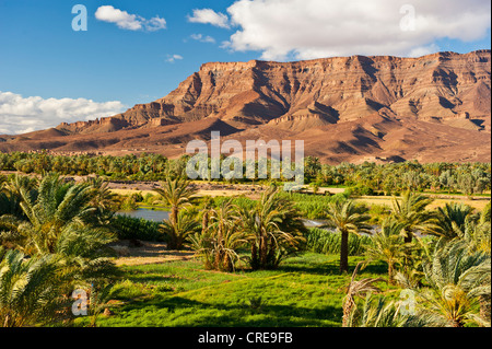 Small grain fields in a palm grove on the Draa River, mountain range of the Djebel Kissane table mountain at the - Stock Photo