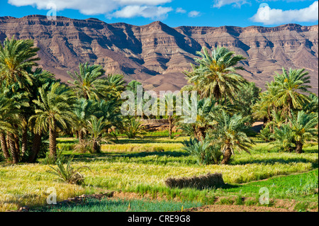 Small grain fields in a palm grove, mountain range of the Djebel Kissane table mountain at the back, Draa Valley - Stock Photo