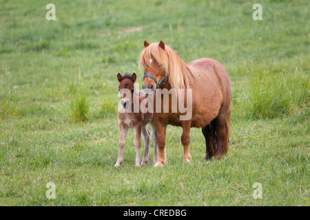 Shetland ponies (Equus ferus caballus), mare with a foal - Stock Photo