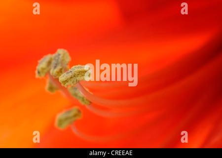 amaryllis (Hippeastrum spec.), closeup of the anthers - Stock Photo