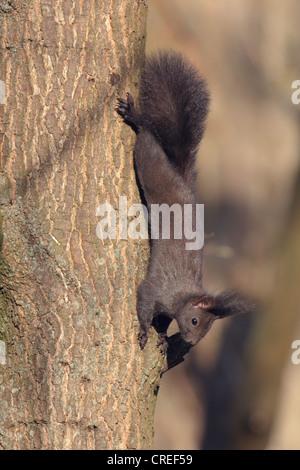 European red squirrel, Eurasian red squirrel (Sciurus vulgaris), black, climbing head-first at a tree trunk, Germany, Bavaria