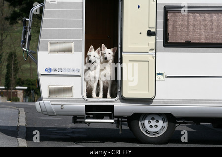 Berger Blanc Suisse (Canis lupus f. familiaris), two individuals looking out of a caravan - Stock Photo