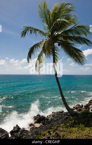 Coconut palm, Big Corn Island, Caribbean Sea, Nicaragua, Central America - Stock Photo