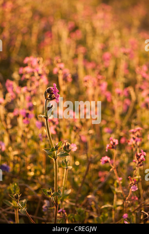 Red Campion, Silene dioica at dusk - Stock Photo