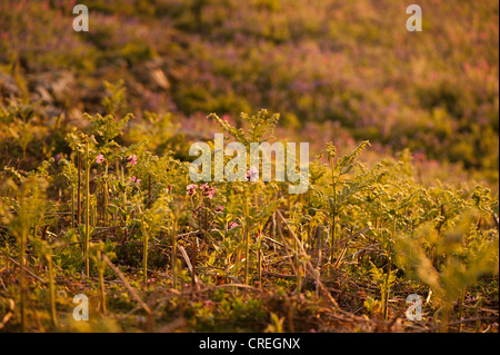 Red Campion, Silene dioica, and Bracken, Pteridium aquilinum. at dusk - Stock Photo