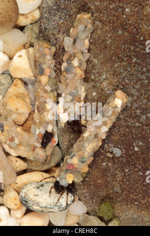 caddis flies (Trichoptera), larvae with coats from little stones, Germany, Bavaria, Oberbayern, Upper Bavaria - Stock Photo