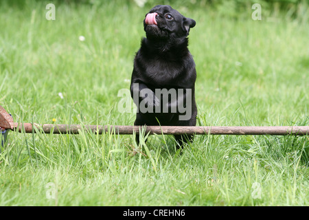 Pug (Canis lupus f. familiaris), jumping over a base hurdle in the garden - Stock Photo