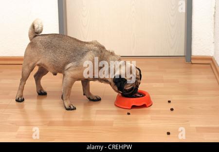 Pug (Canis lupus f. familiaris), male, one year old, feeding - Stock Photo