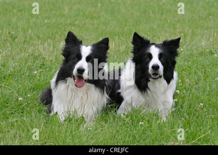 Border Collie (Canis lupus f. familiaris), two dogs side by side on a meadow - Stock Photo