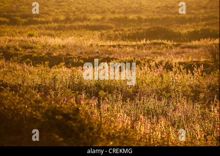 Red Campion, Silene dioica at dusk, Skomer, South Wales, United Kingdom - Stock Photo