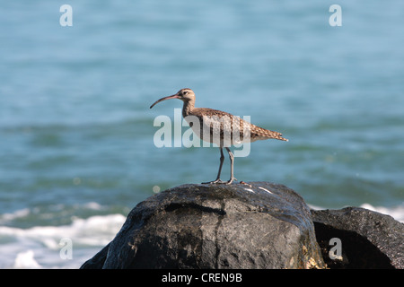 whimbrel (Numenius phaeopus), standing on rocks in front of the sea, Thailand, Phuket, Khao Lak National Park - Stock Photo