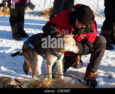 Veterinarian examining sled dog, Alaskan Husky, stethoscope, in Pelly Crossing Checkpoint, Yukon Quest 1, 000-mile - Stock Photo